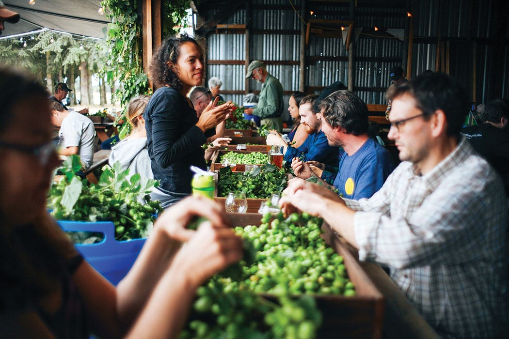 Sorting hops at Agrarian Ales.   Photo by Trask Bedortha.
